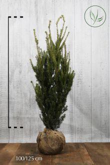 Hybrididegran 'Hillii' Klump 100-125 cm