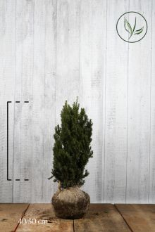 Hybrididegran 'Hillii' Klump 40-50 cm