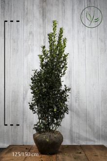 Järnek 'Heckenpracht' Klump 125-150 cm