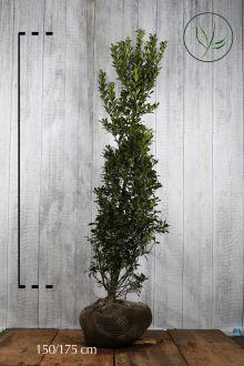 Järnek 'Heckenpracht' Klump 150-175 cm