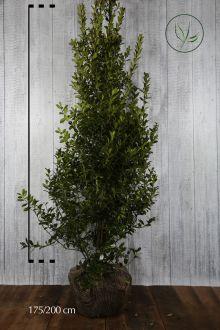 Järnek 'Heckenpracht' Klump 175-200 cm