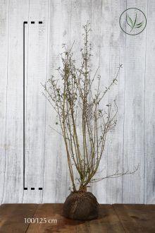 Vintergrön liguster Klump 100-125 cm