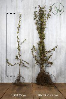 Trubbhagtorn Barrotad 100-125 cm