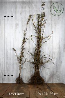 Trubbhagtorn Barrotad 125-150 cm