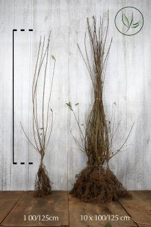 Liguster Barrotad 100-125 cm