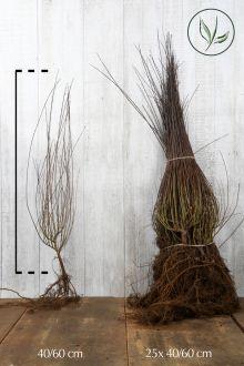 Dvärgrödvide Barrotad 40-60 cm