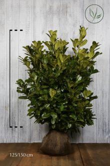 Lagerhägg 'Rotundifolia' Klump 125-150 cm Extra kvalitet