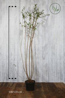 Vintergrön liguster Kruka 100-120 cm Extra kvalitet