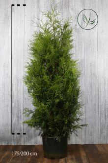 Thuja 'Brabant' Kruka 175-200 cm Extra kvalitet