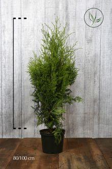 Thuja 'Brabant' Kruka 80-100 cm Extra kvalitet