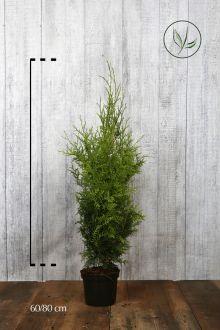 Thuja 'Brabant' Kruka 60-80 cm