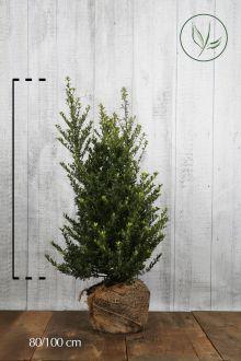 Japansk järnek 'Dark Green' ® Klump 80-100 cm