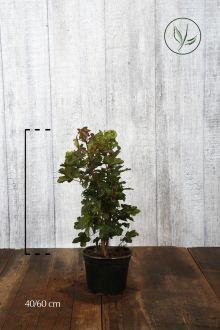 Naverlönn Kruka 40-60 cm