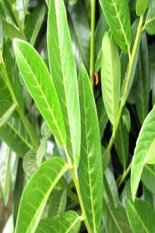 Lagerhägg 'Genolia'® Barrotad 40-60 cm
