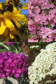 Hög blommande häck 1 Barrotad 30-60 cm