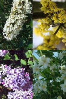 Hög blommande häck 2 Barrotad 30-60 cm