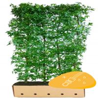 Ambraträd 'Worplesdon' (Liquidambar styraciflua 'Worplesdon') Färdiga häckar 200 cm Extra kvalitet