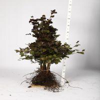 Blodbok Barrotad 80-100 cm