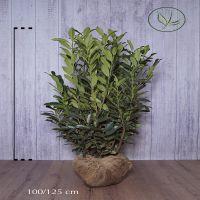 Lagerhägg 'Elly'® Klump 100-125 cm