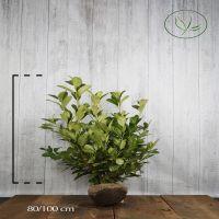Lagerhägg 'Rotundifolia' Klump 80-100 cm Extra kvalitet