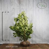 Lagerhägg 'Rotundifolia' Klump 100-125 cm Extra kvalitet