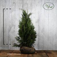 Ädelcypress 'Columnaris Glauca' Klump 100-125 cm Extra kvalitet
