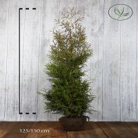 Thuja 'Brabant' Klump 125-150 cm Extra kvalitet
