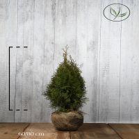 Thuja 'Smaragd' Klump 60-80 cm Extra kvalitet