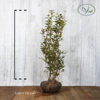 Bredbladig liguster Klump 100-125 cm