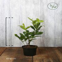 Lagerhägg 'Rotundifolia' Kruka 30-40 cm