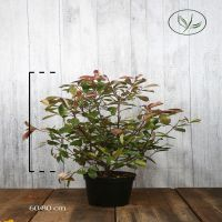 Glansmispel 'Red Robin' Kruka 60-80 cm Extra kvalitet