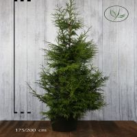 Thuja 'Excelsa' Kruka 175-200 cm Extra kvalitet