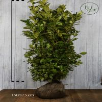 Lagerhägg 'Rotundifolia' Klump 150-175 cm Extra kvalitet