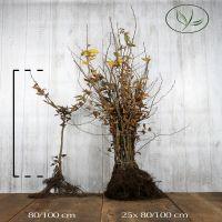 Avenbok Barrotad 80-100 cm Extra kvalitet