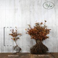 Bok Barrotad 40-60 cm Premium kvalitet