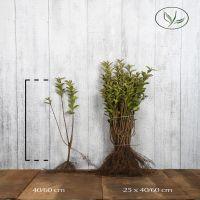 Gulbrokig bredbladsliguster Barrotad 40-60 cm