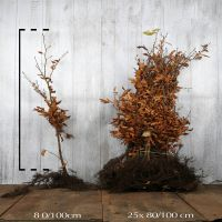 Bok Barrotad 80-100 cm
