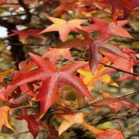 Ambraträd 'Worplesdon'