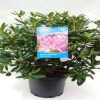 Rhododendron 'Roseum Elegans' Kruka 60-70 cm Extra kvalitet