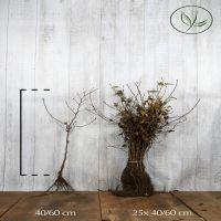 Avenbok Barrotad 40-60 cm Extra kvalitet