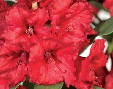 Rhododendron 'Red Jack'