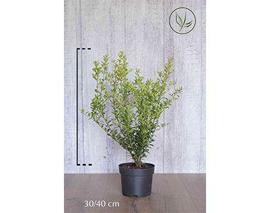 Japansk järnek 'Green Hedge'  Kruka 30-40 cm Extra kvalitet