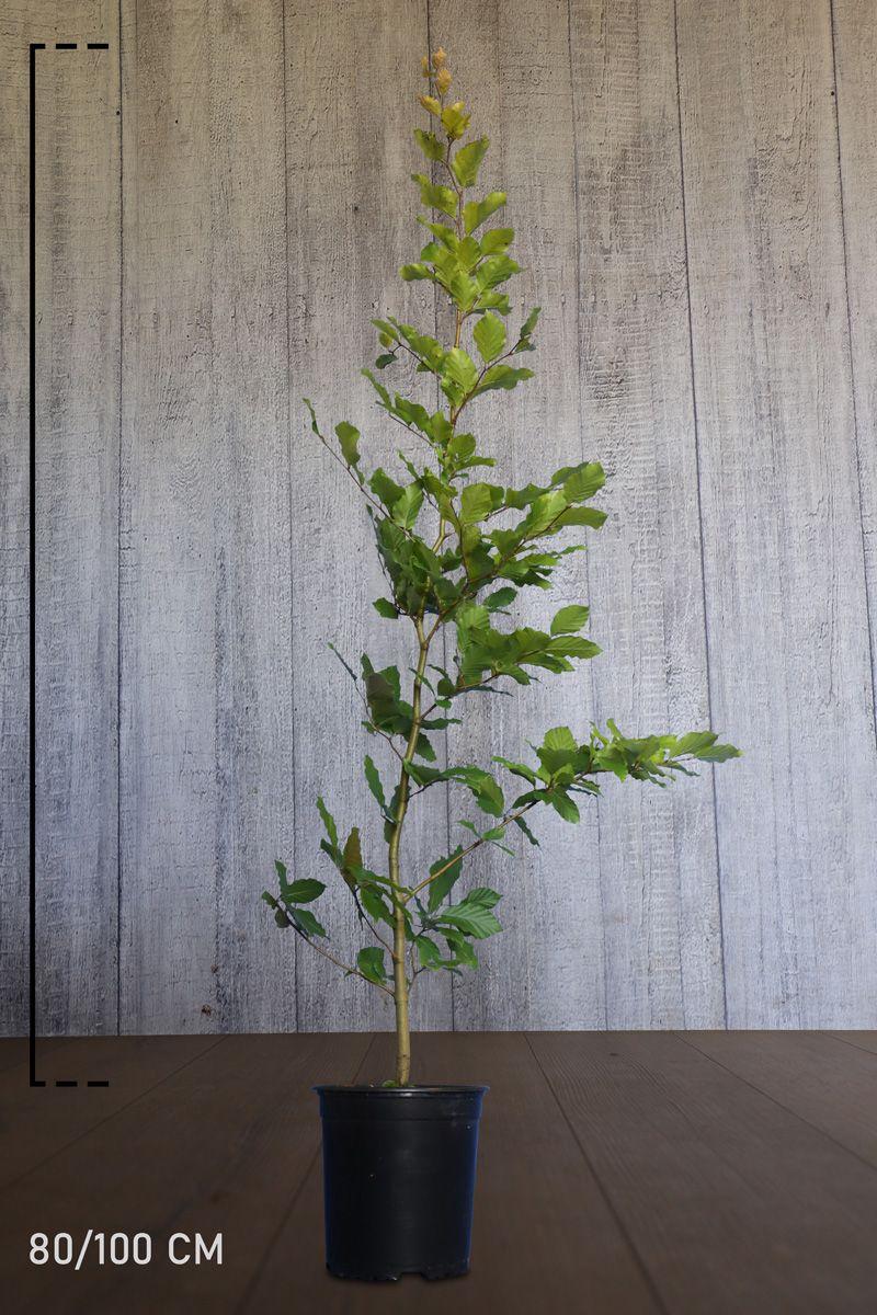 Bok Kruka 80-100 cm