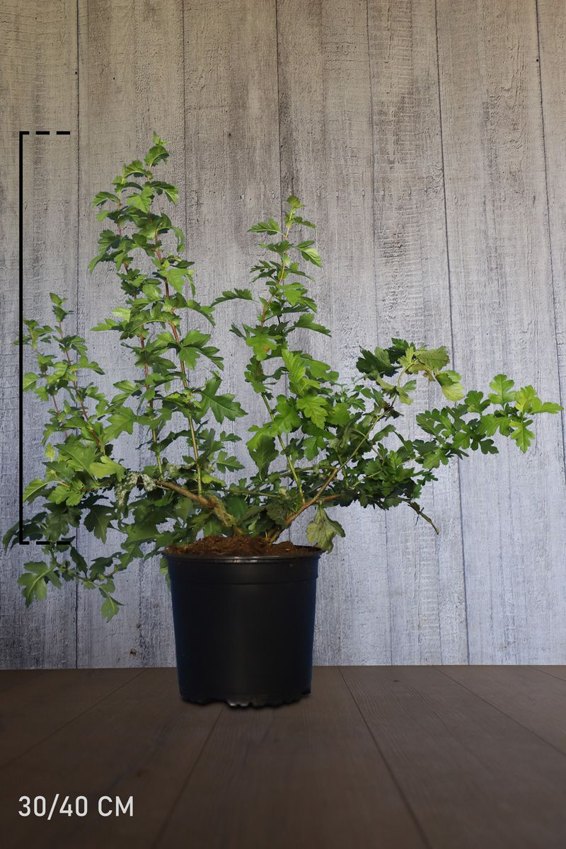Trubbhagtorn Kruka 40-60 cm
