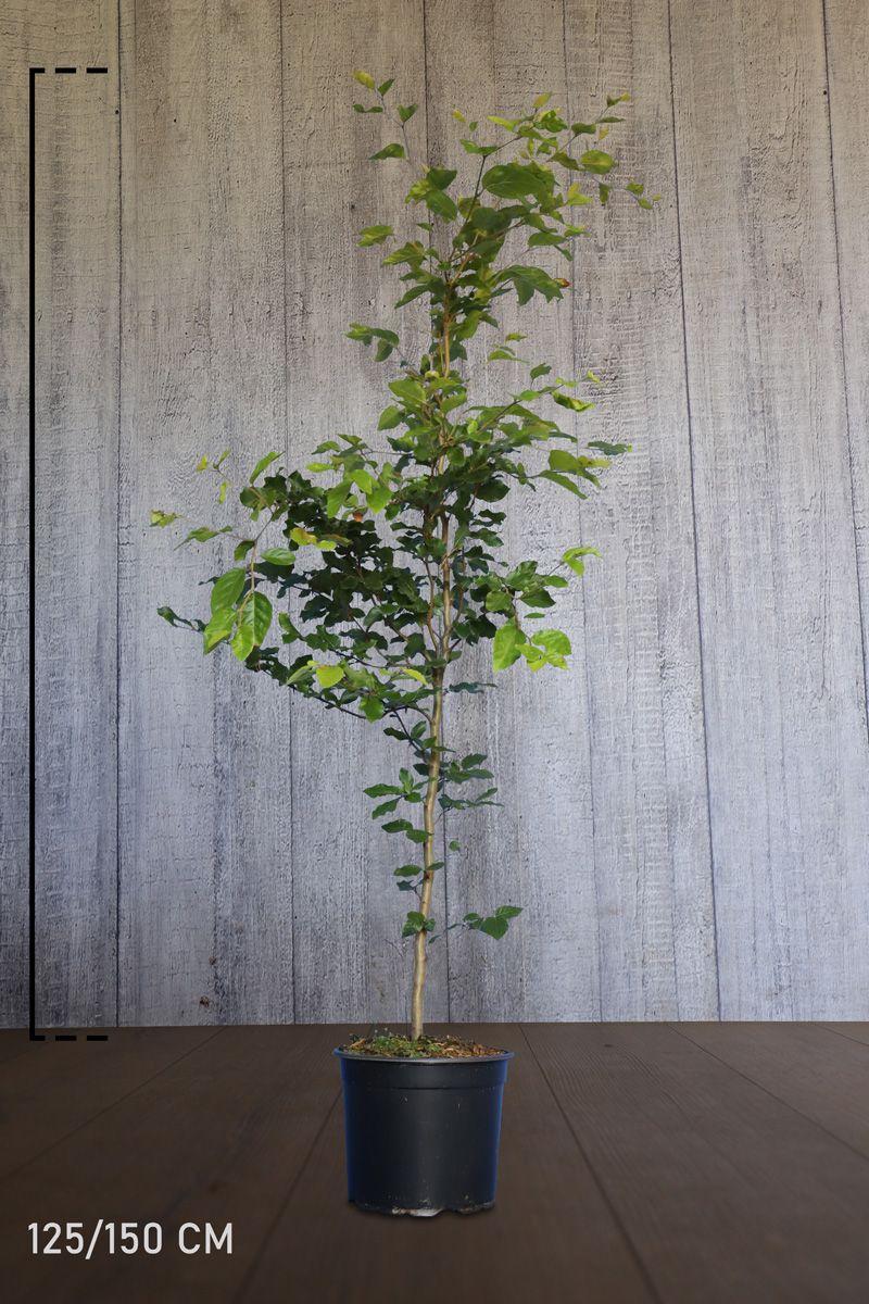 Bok Kruka 125-150 cm Extra kvalitet