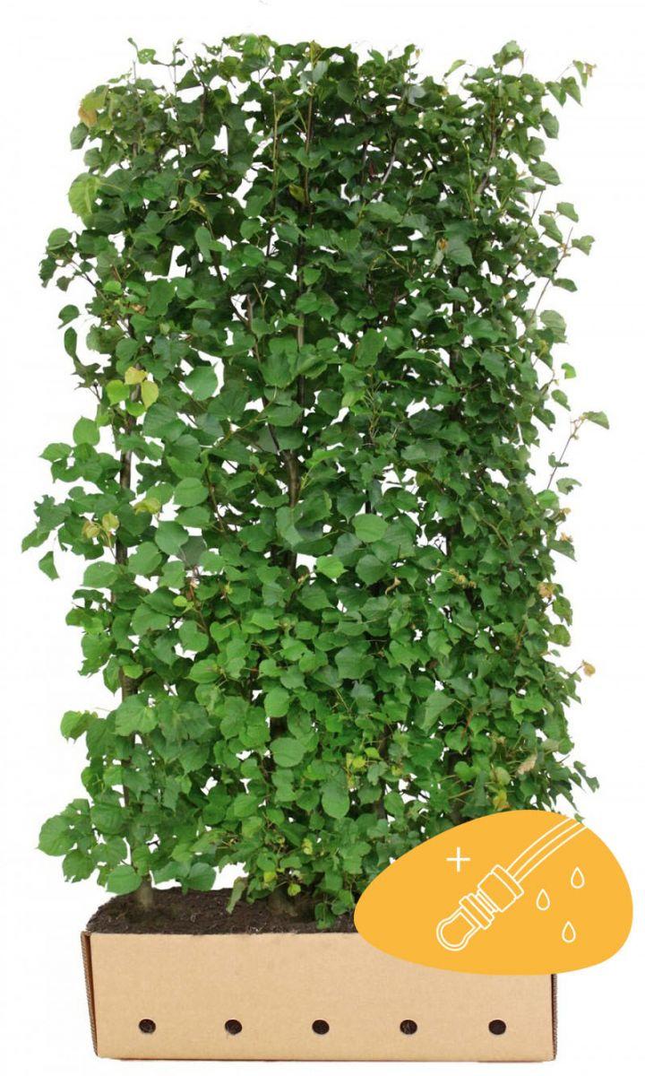 Lind (Tilia cordata) Färdiga häckar 200 cm Extra kvalitet