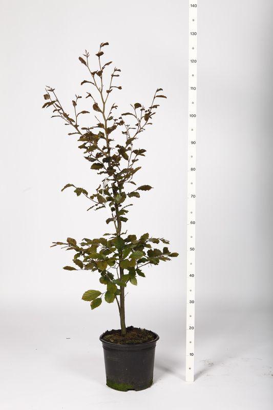 Blodbok Kruka 80-100 cm Extra kvalitet