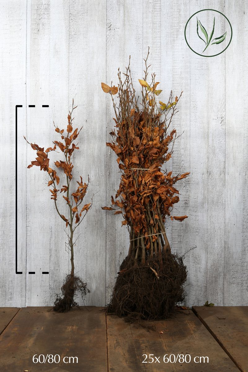 Bok Barrotad 60-80 cm