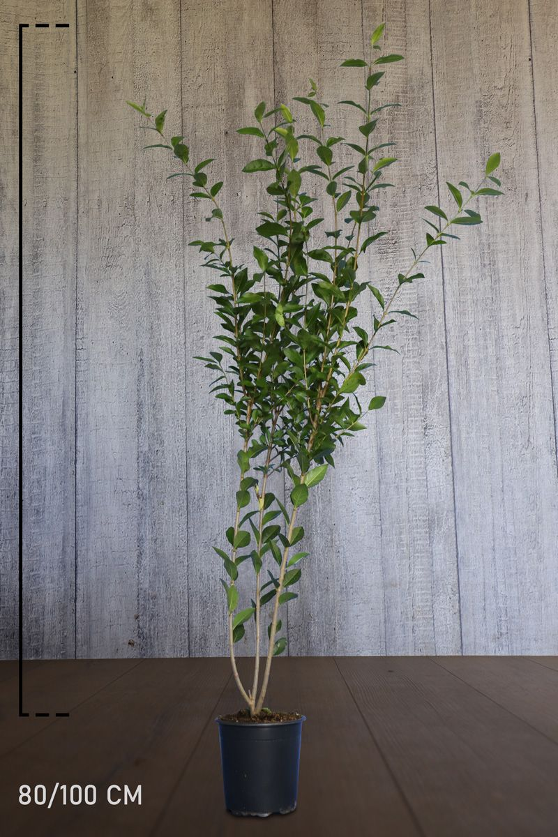 Bredbladig liguster Kruka 80-100 cm Extra kvalitet