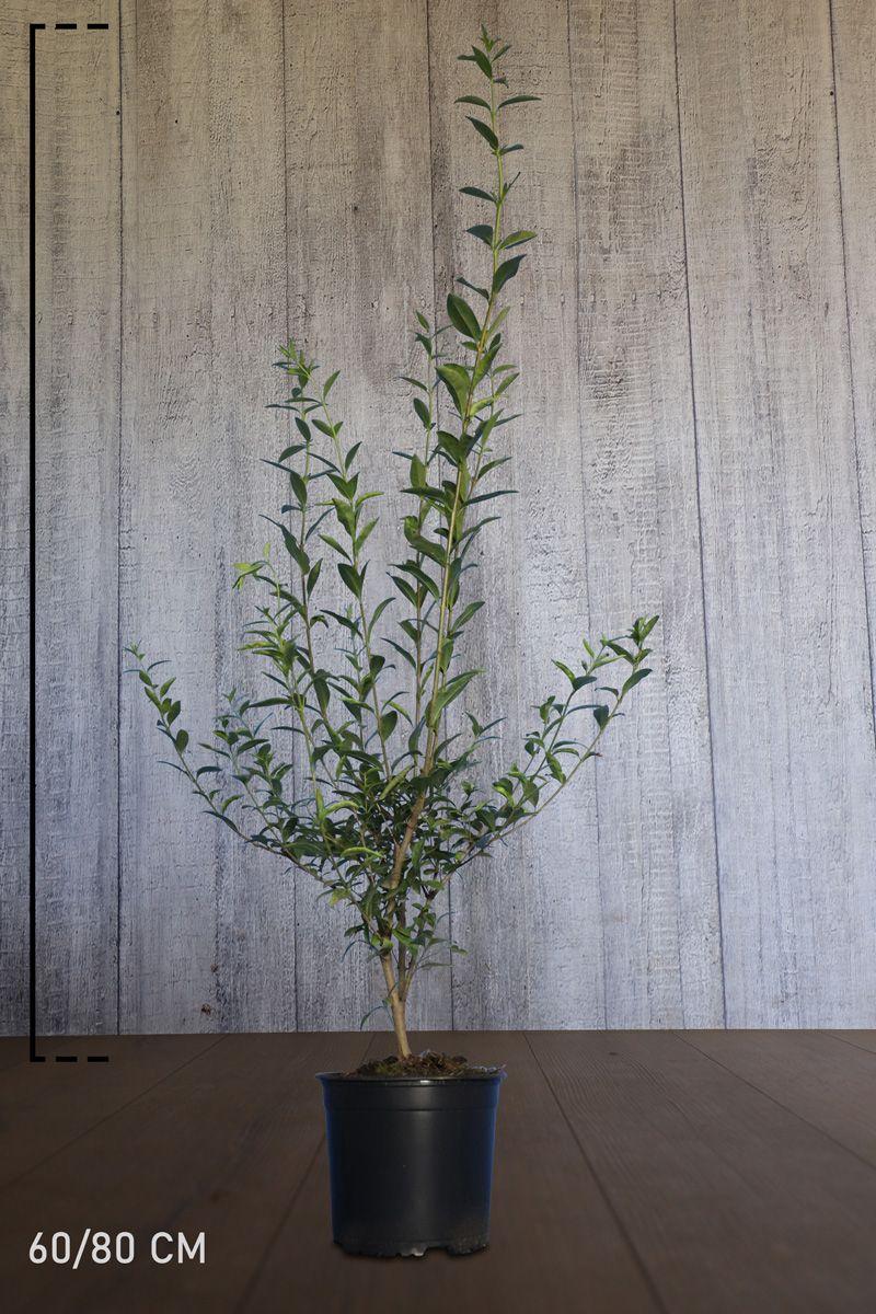 Vintergrön liguster Kruka 60-80 cm